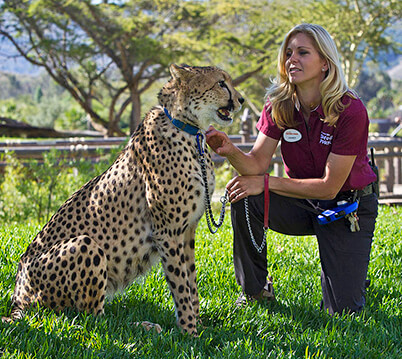 A Safari Park trainer working with a cheetah animal ambassador