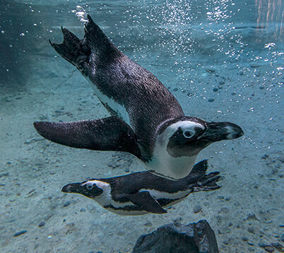 Two African penguins swimming underwater, one head turned to the right looking straight at you.
