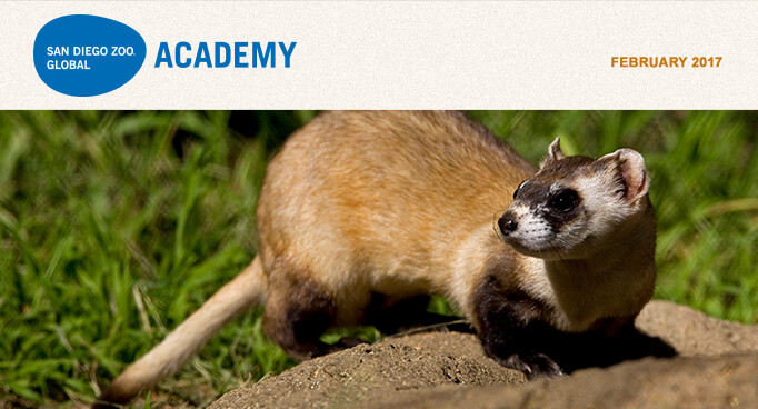San Diego Zoo Global Academy, February 2017. Photo is black-footed ferret.
