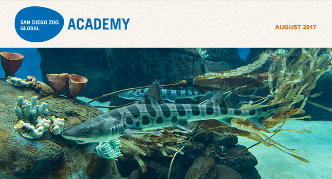 San Diego Zoo Global Academy, July 2017. Photo is two leopard sharks swimming at the San Diego Zoo's new Africa Rocks exhibit.