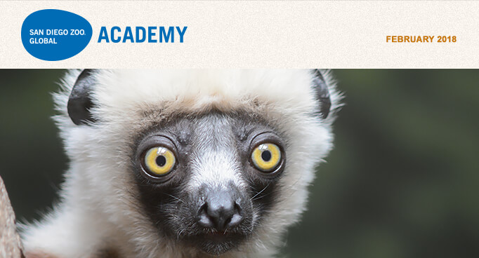 San Diego Zoo Global Academy, February 2018. Photo Sifaka lemur