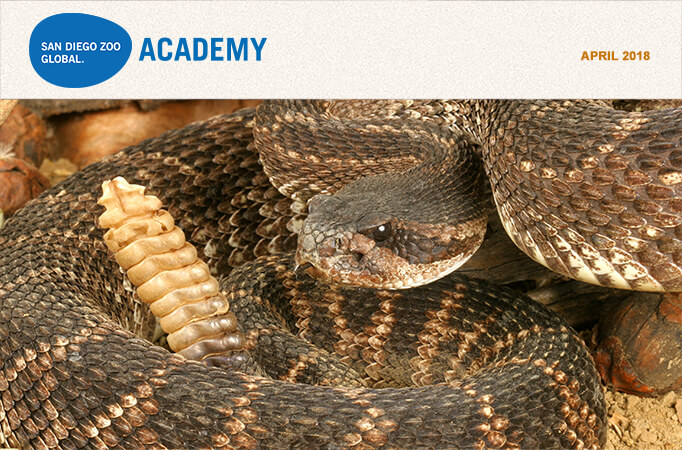 San Diego Zoo Global Academy, April2018. Photo Pacific rattlesnake.