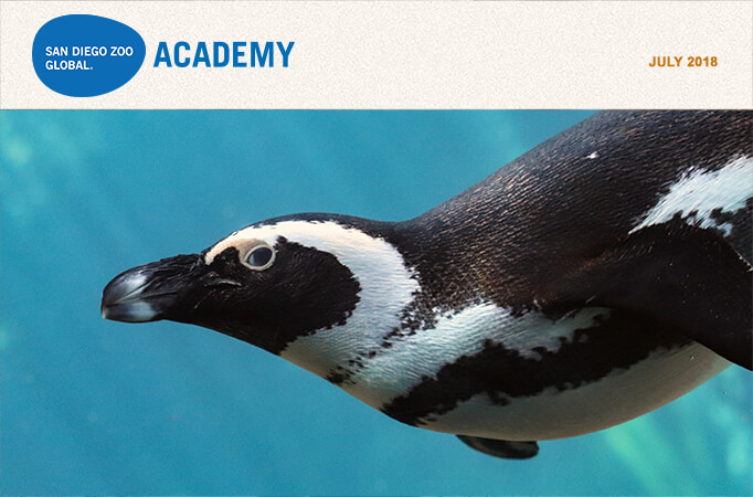 San Diego Zoo Global Academy, July 2018. Photo African penguin.