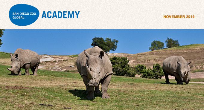 San Diego Zoo Global Academy, November 2019. Photo of three southern white rhinos.