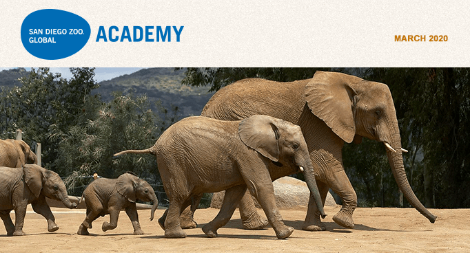 San Diego Zoo Global Academy, March 2020. Elephant family