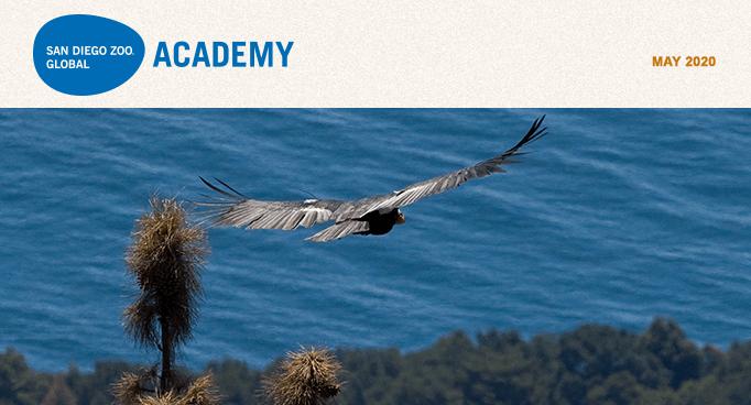 San Diego Zoo Global Academy, May 2020. California condor in flight