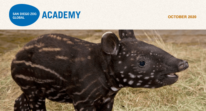 San Diego Zoo Global Academy, October 2020. baby tapir