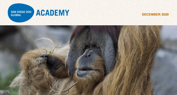 San Diego Zoo Global Academy, December 2020. male orangutan