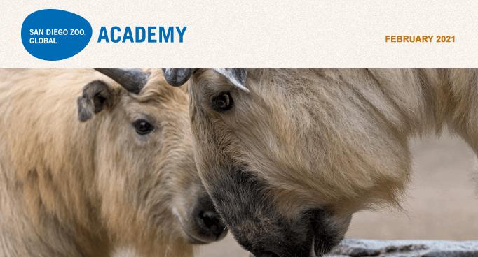 San Diego Zoo Global Academy, February 2021, takins