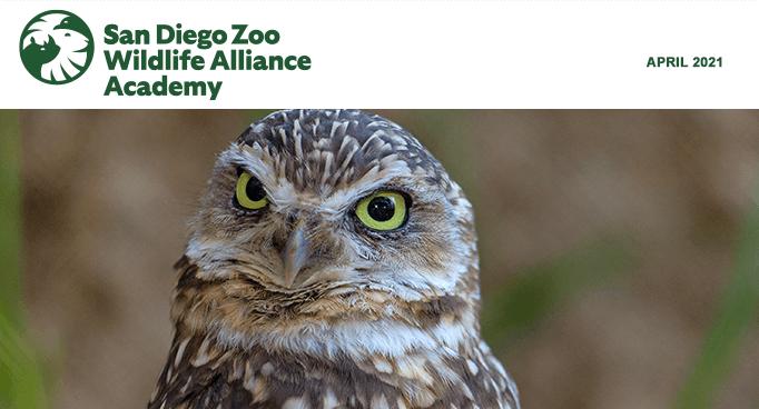 San Diego Zoo Wildlife Alliance Academy, March 2021, Orangutan