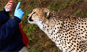Photo of a trainer with a cheetah.